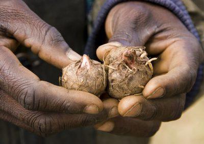 Mozambique: la jatrofa se come el país